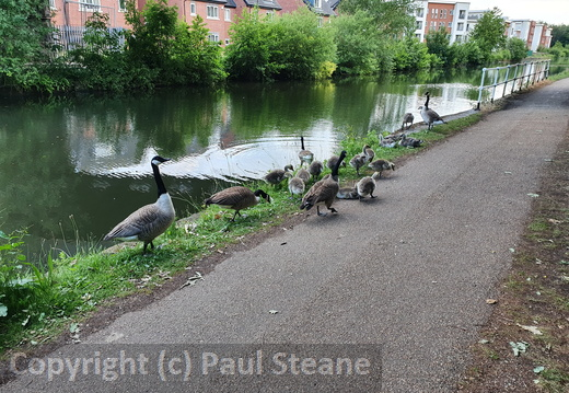 Bridgewater Canal Canada Geese